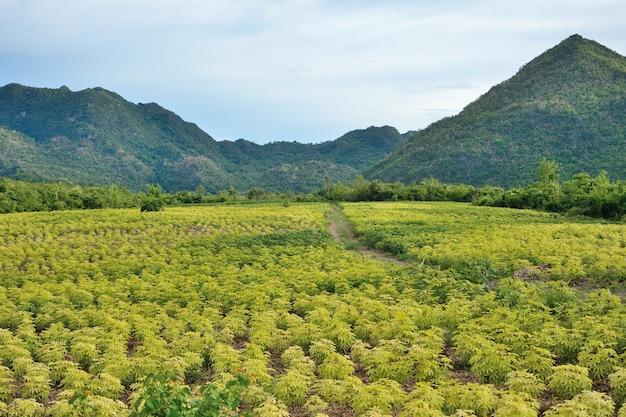 Cassaveplantage heeft bergen in thailand Premium Foto