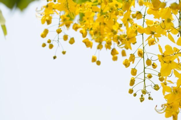 Cassia-fistelbloemen of gouden douchebloem met exemplaar-ruimte voor aardachtergrond Premium Foto
