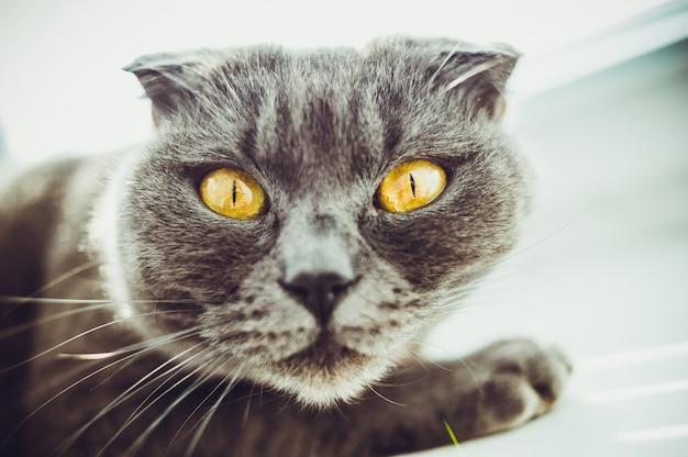Cat is een schots vouwras Premium Foto