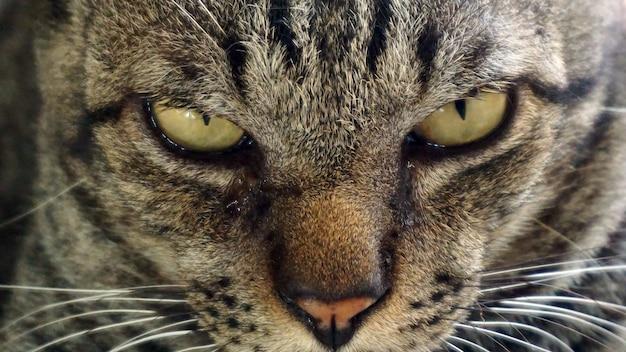 Cat-profielpagina, focus op ogen en gezicht Premium Foto