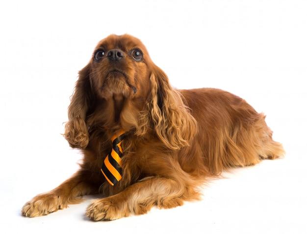 Cavalier king charles spaniel met stropdas Premium Foto