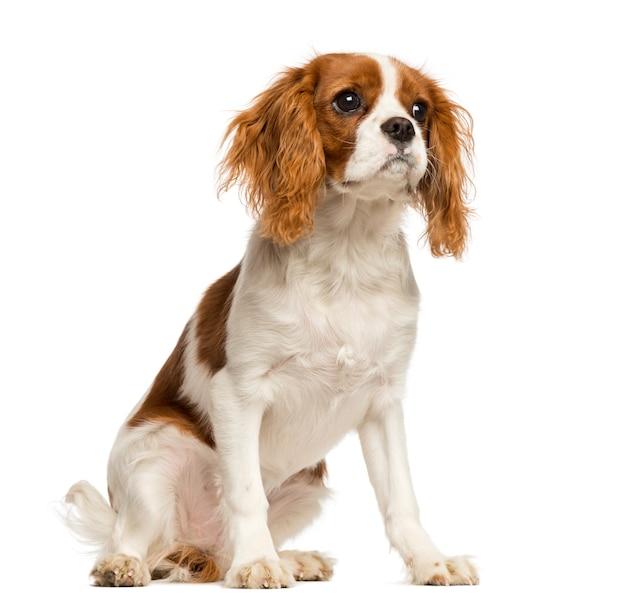 Cavalier king charles spaniel puppy, zittend Premium Foto