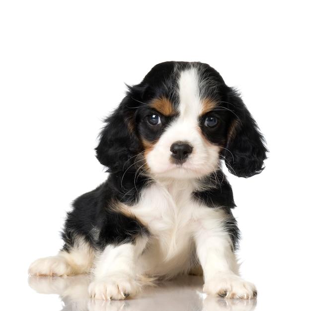 Cavalier king charles spaniel puppy Premium Foto