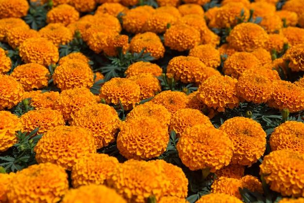 Cempasuchil gele goudsbloembloemen cempazúchitl voor altaren van de dag van de dode mexico Premium Foto