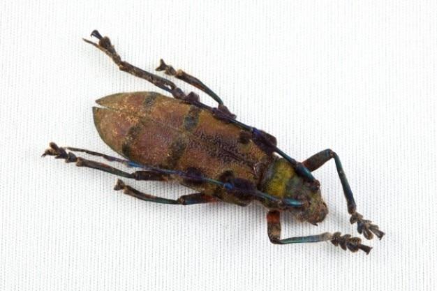 Cerambycidae kever Gratis Foto