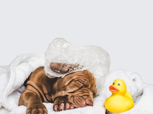 Charmant puppy, liggend op een wit tapijt Premium Foto