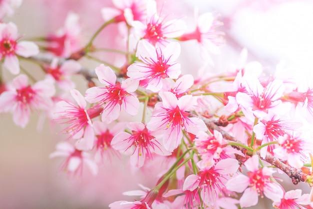 Cherry blossom in de lente met zachte nadruk Premium Foto