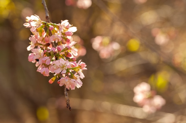 Cherry blossom - sakura-bloem - japanse kers, prunus serrulata Premium Foto