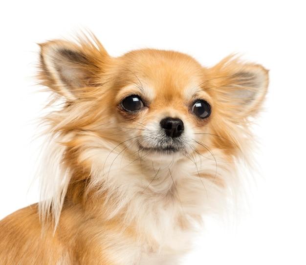 Chihuahua die de camera bekijkt Premium Foto