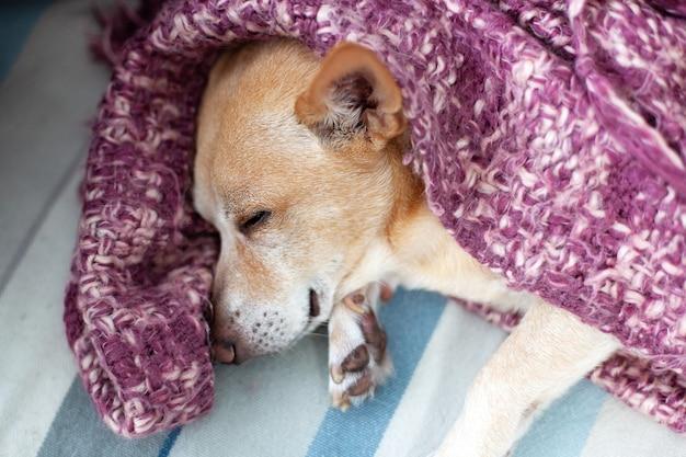 Chihuahua die thuis op laag na gang ligt. slaperige vermoeide hond die in woonkamer rust. concept van huisdieren. gelukkig hondenleven. hondje slapen thuis op bed bedekt met deken in het weekend. lui t Premium Foto