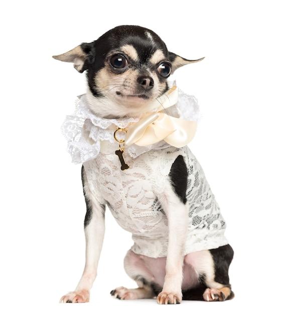 Chihuahua gekleed met kantoverhemd, zitten, geïsoleerd op wit Premium Foto