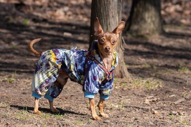 Chihuahua-hond in het park Premium Foto