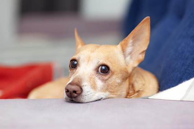 Chihuahua is thuis op blauwe bank. mooie gemberhond die op laag ligt. huisdier rust op de bank. schattige hond. kalme slimme hond ligt op comfortabele bank Premium Foto