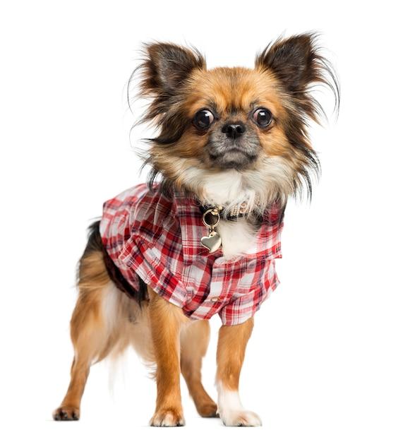 Chihuahua kleedde zich omhoog met overhemd status geïsoleerd op wit Premium Foto