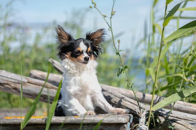 Chihuahua op een oude blauwe vissersboot Premium Foto