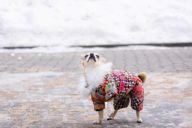 Chihuahua pak in de winter Premium Foto