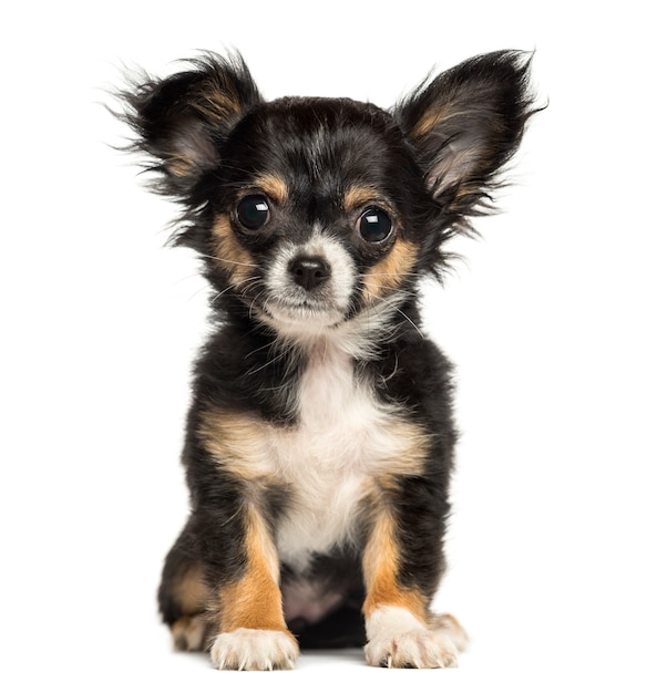 Chihuahua puppy zitten, kijken naar de camera Premium Foto