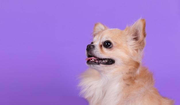 Chihuahua zitten en opzoeken Gratis Foto