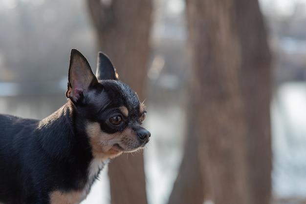 Chihuahua zwart, bruin en wit. schattige puppy. mini-ras chihuahua gladde korthaar. Premium Foto