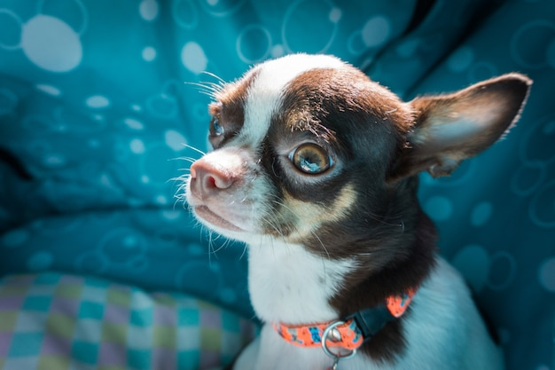 Chihuahuahond in bed Premium Foto