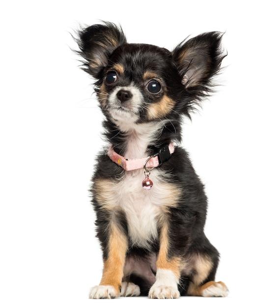 Chihuahuapuppy die buitensporige kraag dragen die op wit wordt geïsoleerd Premium Foto