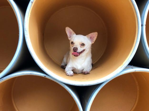 Chihuahuapuppy die in de document emmer of de document buis, leuke hoektand liggen. Premium Foto