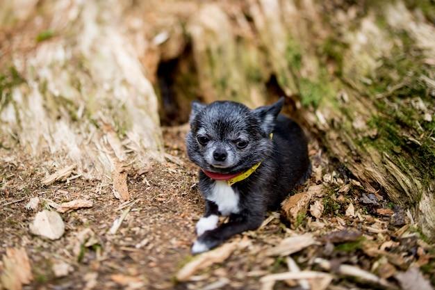 Chihuahuapuppy die in hout liggen Premium Foto