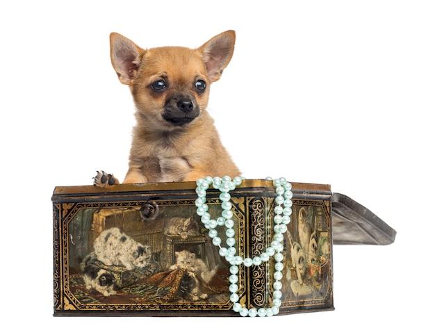 Chihuahuapuppy in een uitstekende doos die op wit wordt geïsoleerd Premium Foto