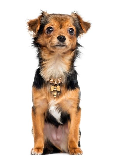 Chihuahuazitting die de camera onder ogen zien die op wit wordt geïsoleerd Premium Foto