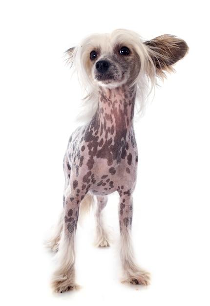 Chinese crested dog Premium Foto