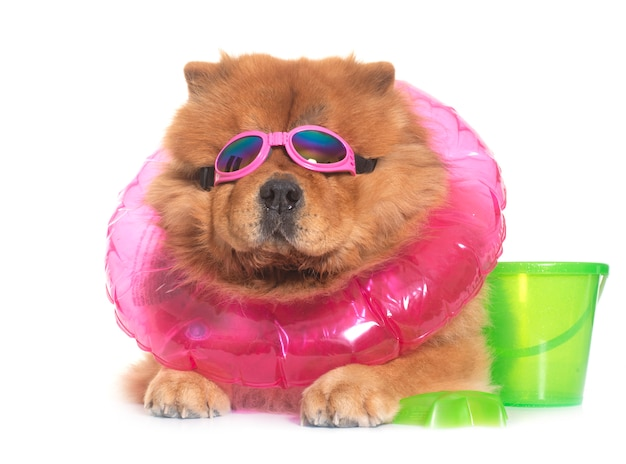 Chow-chow-hond in de zomer Premium Foto
