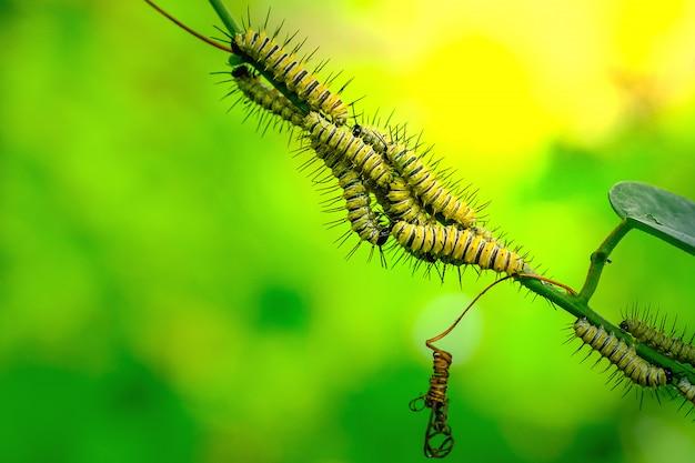 Chrysalis luipaard lacewingss op het groene blad Premium Foto
