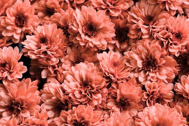 Chrysanten. koraal verse bloem Premium Foto