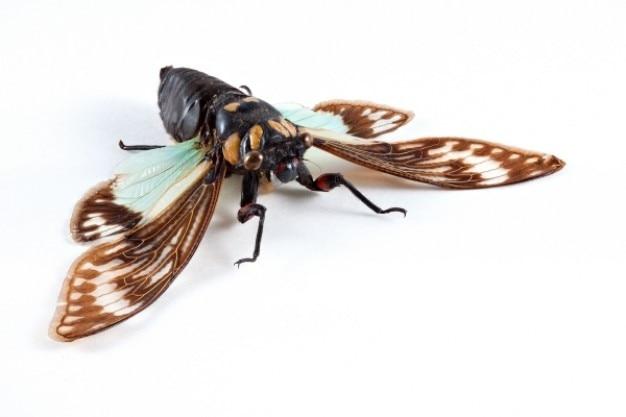Cicadidae sp cicade Gratis Foto