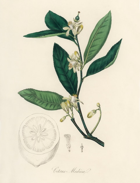 Citron (citrus medica) illustratie van medical botany (1836) Gratis Foto