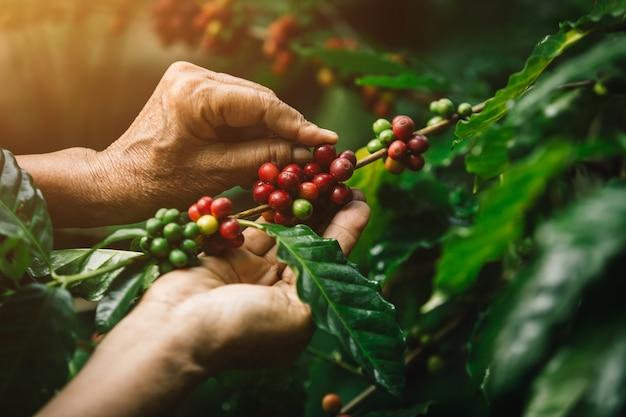Close-up arabica koffiebessen met landbouwkundigehanden Premium Foto