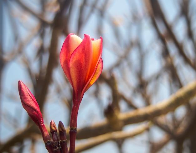 Close-up de kleurrijke plumeria op aardachtergrond Premium Foto