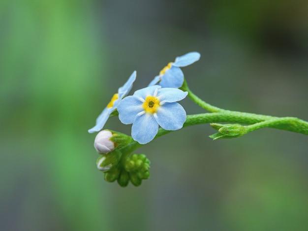 Close-up die van alpiene vergeet-mij-nietjebloemen met groene aard is ontsproten Gratis Foto