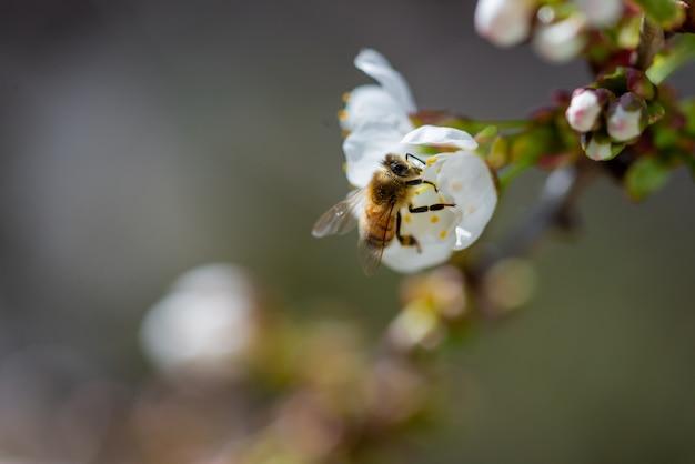Close-up die van een bij is ontsproten die op een witte bloem van de kersenbloesem bestuift Gratis Foto
