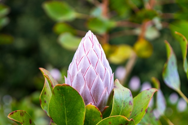 Close-up die van een gesloten bloem van koningsprotea is ontsproten Gratis Foto