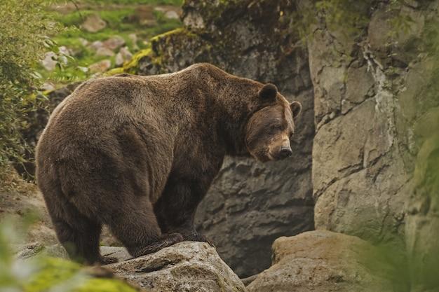 Close-up die van een grizzly is ontsproten die zich op een klip bevindt Gratis Foto