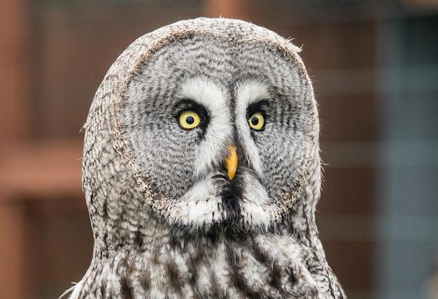 Close-up die van een nieuwsgierige grote grijze uil is ontsproten die direct naar de camera staart Gratis Foto