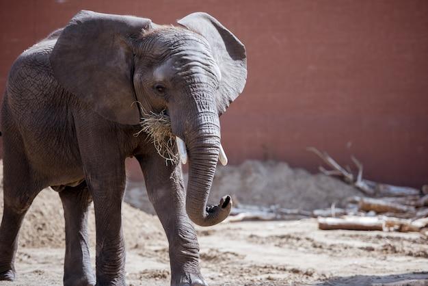 Close-up die van een olifant is ontsproten die droge grasrijk eet Gratis Foto