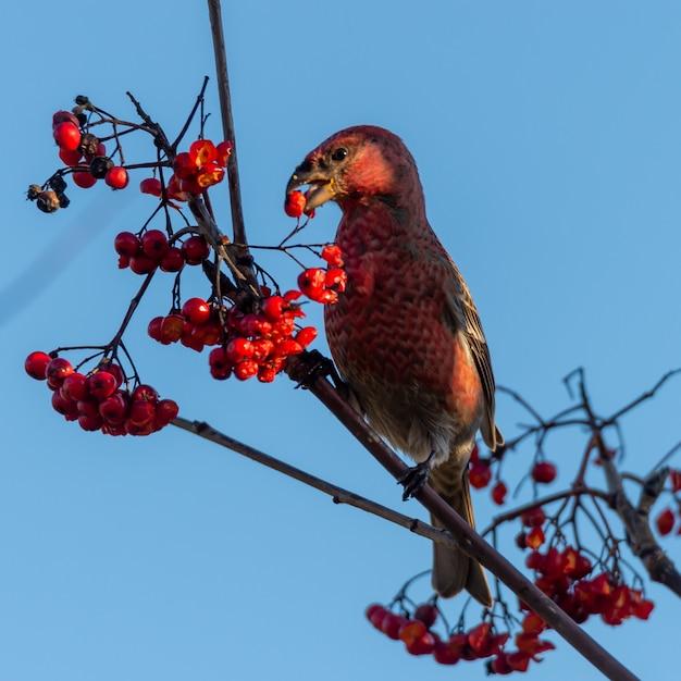Close-up die van een rode crossbillvogel is ontsproten die lijsterbessenbessen eet die op een boom worden neergestreken Gratis Foto