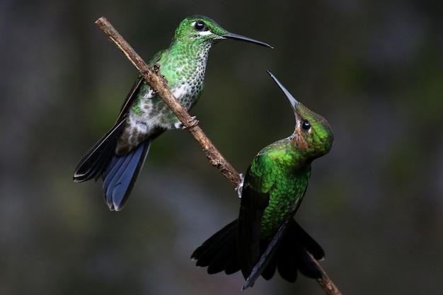 Close-up die van twee kolibries is ontsproten die op een takje op elkaar inwerken Gratis Foto