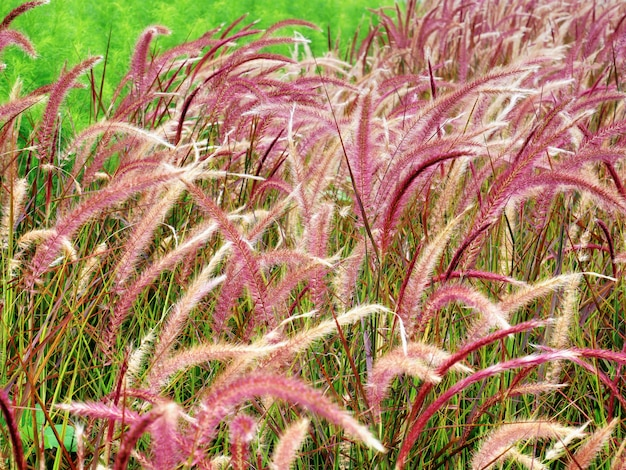 Close-up fresh purple palea grasses in het veld Premium Foto