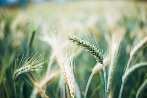 Close-up gerst graan voor het oogsten Gratis Foto