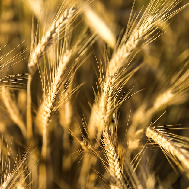 Close-up gouden tarwekruiden Gratis Foto