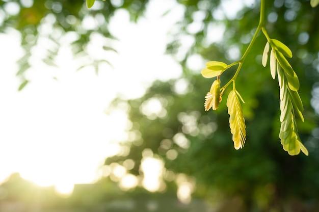 Close-up jonge tamarinde bladeren Premium Foto