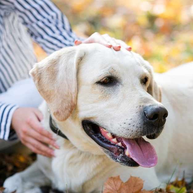 Close-up leuk labrador in het park Gratis Foto